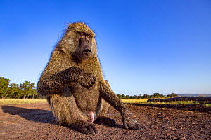 Olive baboon (Papio anubis) male, taken with remote camera. Masai Mara National Reserve, Kenya. - Anup Shah
