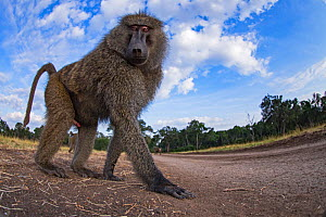Olive baboon (Papio anubis) male approaching with curiosity - remote camera. Masai Mara National Reserve, Kenya.  -  Anup Shah