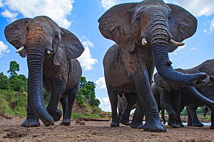 African elephants (Loxodonta africana) approaching - remote camera. Masai Mara National Reserve, Kenya. August 2015.  -  Anup Shah