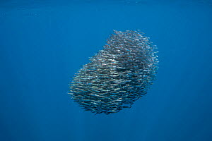 Bait ball of schooling Anchovies (Encrasicholina punctifer), with needlefish / long toms (Belonidae) swimming at top of frame, Kei ( or Kai ) Islands, Moluccas, eastern Indonesia, Banda Sea, Southwest...  -  Doug Perrine
