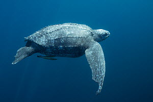 Pacific leatherback sea turtle (Dermochelys coriacea) critically endangered, with shark bites out of front and rear flippers, Kei or Kai Islands, Moluccas, eastern Indonesia, Banda Sea.  -  Doug Perrine