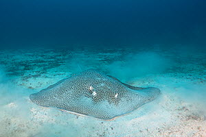 Reticulate whipray / Honeycomb stingray, (Himantura uarnak) feeding on bottom on seamount in Kei (or Kai) Islands, Moluccas, eastern Indonesia, Banda Sea, Southwest Pacific Ocean  -  Doug Perrine