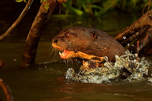 RF - Giant Otter (Pteronura brasiliensis) in river, Pantanal, Brazil (This image may be licensed either as rights managed or royalty free.)  -  Andy Rouse