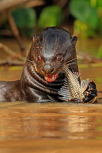 RF - Giant Otter (Pteronura brasiliensis) feeding on fish in river, Pantanal, Brazil Medium repro only (This image may be licensed either as rights managed or royalty free.)  -  Andy Rouse