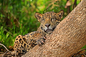 Jaguar (Panthera onca) resting against tree on riverbank, Pantanal, Brazil  -  Andy Rouse