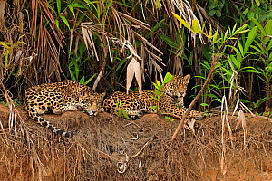 Jaguars (Panthera onca) on riverbank , Pantanal, Brazil - Andy Rouse