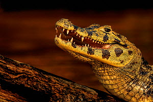 Yacare caiman (Caiman yacare) mouth open cooling off, Pantanal, Brazil. Medium repro only  -  Andy Rouse