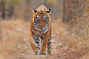 Bengal tiger (Panthera tigris) tigress Noor , Ranthambhore, India - Andy Rouse