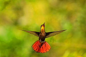 Ruby Topaz hummingbird (Chrysolampis mosquitus) hovering, Tobago Medium repro only  -  Andy Rouse