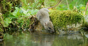 Brown rat (Rattus norvegicus) approaching a pond to forage, Lower Saxony, Germany, November. - Kerstin  Hinze