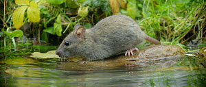 Slow motion clip of a Brown rat (Rattus norvegicus) approaching a pond to forage, Lower Saxony, Germany, November. - Kerstin  Hinze