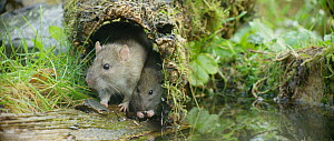 Brown rat (Rattus norvegicus) foraging and drinking from a pond with a juvenile, Lower Saxony, Germany, November. - Kerstin  Hinze