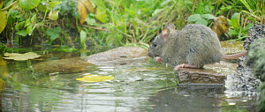 Brown rat (Rattus norvegicus) foraging from a pond, Lower Saxony, Germany, November. - Kerstin  Hinze