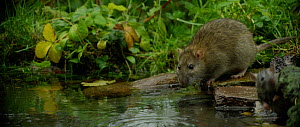 Slow motion clip of a Brown rat (Rattus norvegicus) drinking from a pond in the rain, Lower Saxony, Germany, November. - Kerstin  Hinze