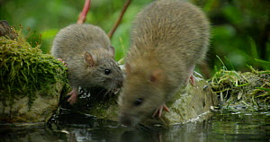 Brown rats (Rattus norvegicus) foraging in a pond, with juveniles, Lower Saxony, Germany, November. - Kerstin  Hinze