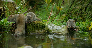Juvenile Brown rat (Rattus norvegicus) foraging in a pond, Lower Saxony, Germany, November. - Kerstin  Hinze