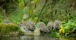 Brown rat (Rattus norvegicus) and juveniles foraging in a pond, Lower Saxony, Germany, November. - Kerstin  Hinze