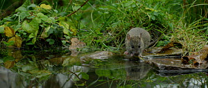 Brown rat (Rattus norvegicus) foraging in a pond, dipping its head underwater and shaking head, Lower Saxony, Germany,November. - Kerstin  Hinze