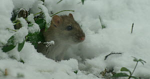 Brown rat (Rattus norvegicus) emerging from its burrow in snow, Lower Saxony, Germany, December. - Kerstin  Hinze