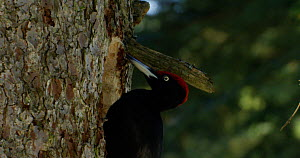 Slow motion clip of a male Black woodpecker (Dryocopus martius) drilling a hole in a tree, hunting for insects, Bavarian Forest National Park, Bavaria, Germany, February.  -  Kerstin  Hinze