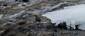 Dipper (Cinclus cinclus) foraging in a stream, Harz National Park, Saxony-Anhalt, Germany, March.  -  Kerstin  Hinze