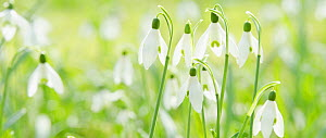 Snowdrop (Galanthus nivalis) in flower, Lower Saxony, Germany, March.  -  Kerstin  Hinze