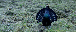 Male Capercaillie (Tetrao urogallus) displaying, Berchtesgaden  National Park, Bavarian Alps, Germany, April.  -  Kerstin  Hinze
