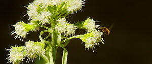 Greater bee fly (Bombylius) nectaring from Butterbur (Petasites hybridus) flowers, Bavarian Forest National Park, Germany, April.  -  Kerstin  Hinze