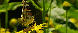 Painted lady (Vanessa cardui) nectaring, Bavarian Forest National Park, Germany, June. - Kerstin  Hinze