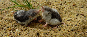 Two Piebald shrews (Diplomesodon pulchellum) digging and fighting. Captive, native to Turkmenistan and Uzbekistan.  -  Kerstin  Hinze
