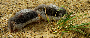 Male Piebald shrew (Diplomesodon pulchellum) following and sniffing a female before digging in the sand. Captive, native to Turkmenistan and Uzbekistan.  -  Kerstin  Hinze
