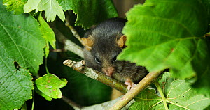 Melanistic Common dormouse (Muscardinus avellanarius) resting on a branch,  September. Captive - Kerstin  Hinze