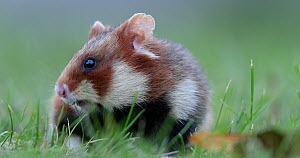 Black-bellied hamster (Cricetus cricetus) foraging, Vienna, Austria, October. - Kerstin  Hinze