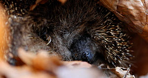 Close-up of a European hedgehog (Erinaceus europaeus) sleeping, Lower Saxony, Germany, April. - Kerstin  Hinze