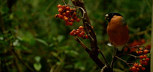 Male Bullfinch (Pyrrhula pyrrhula) feeding on Rowan (Sorbus) berries, before flying away, Bavarian Forest National Park, Germany. - Kerstin  Hinze