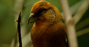Close-up of a Red crossbill (Loxia curvirostra),  Bavarian Forest National Park, Germany, October. - Kerstin  Hinze