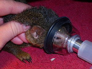 Anesthesia of a captive Common dwarf mongoose (Helogale parvula). Small repro only. - David Perpinan