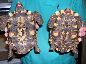 Sexual dimorphism in adult red-footed tortoise (Chelonoidis carbonaria). Left: male (concave plastron, long tail), right: female (flat plastron, short tail) small repro only  -  David Perpinan