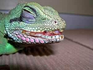 Stomatitis in a captive Chinese water dragon (Physignathus cocincinus). This is a common condition in captive water dragons, as they are nervous and hit themselves against glass. - David Perpinan