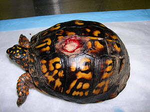 Eastern box turtle (Terrapene carolina) wild animal with carapacial fracture from a lawn mower. This is a common problem in wild box turtles from semi-urban areas. Small repro only.  -  David Perpinan