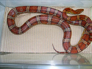 Gastric hyperplasia in a captive corn snake (Pantherophis guttatus). This is a common and often fatal infection in captive snakes. Small repro only - David Perpinan
