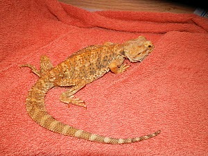 Cachectic or emaciated captive Bearded dragon (Pogona vitticeps) confiscated by police due to poor care'United Kingdom. Small repro only  -  David Perpinan