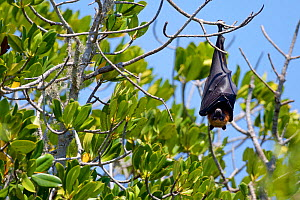 Flying fox (Pteropus rufus), roosting, Kirindy Mites National Park, Madagascar, Vulnerable, endemic. - Lorraine Bennery
