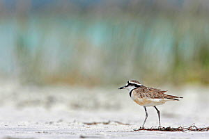 Madagascar Plover (Charadrius thoracicus), on ground Tsimanampetsotsa National Park, Madagascar, Vulnerable, endemic. - Lorraine Bennery