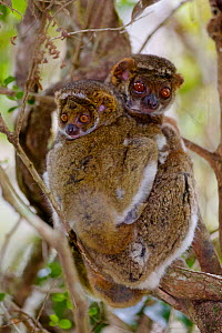 Eastern woolly lemur (Avahi laniger) female and infant huddled in a tree. Anjozorobe Special Reserve, Madagascar, Vulnerable, endemic. - Lorraine Bennery