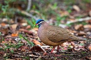 Blue-headed quail-dove (Starnoenas cyanocephala) on ground, Cuba  -  Karine Aigner
