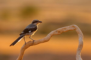 Grey shrike (Lanius meridionalis) perched, Navarra province. Spain, July.  -  Eduardo Blanco