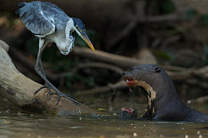 Giant otter (Pteronura brasiliensis) feeding on a catfish (Loricariidae) with Cocoi heron (Ardea cocoi) scavenging remnants, Rio Cuiaba, Pantanal, Brazil. - Luke Massey
