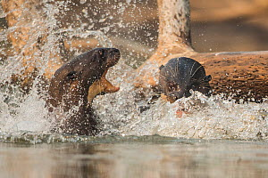 Giant river otters (Pteronura brasiliensis) fighting, Pantanal, Brazil.  -  Luke Massey