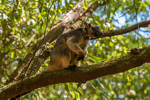 Radio collared Lumholtz's tree-kangaroo (Dendrolagus lumholtzi) 'Kimberley'. The radio collar allows this juvenile to explore the nearby forest before its eventual release. Lumholtz Lodge,...  -  Jurgen Freund